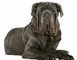 Non Shed Dog Breeds Large by World U0027s Strongest Dog Breeds That Make Protective Companions
