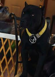 Cane Corso Italiano Shedding by Pin By Lil Bug On Canine Pinterest Dog Animal And Cane Corso