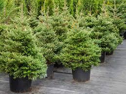 Nordmann Fir Christmas Tree Seedlings by Christmas Tree In Garden Rainforest Islands Ferry