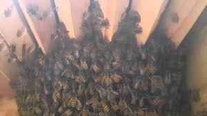 Video Through The Viewing Window On The Golden Means Top Bar Hive ... Bkeeping For Beginners Pt1 Video On How To Build A Top Bar Hive Feeder Set Up Behind Follower Board In Bkeeper Top Bar Hive Melissas Honey Bees Epic Beehive Swarm Trap Youtube How Transfer Brood Comb From Langstroth Frames New 200 Hives The Lowcost Sustainable Way A Bee Keeping Make Favorite Sewisabel Backyardhive And Bkeeeping Supplies Sale To Install Package Beverly Getting Started Your First Year As Beehive By Eco Box Eco Bee Box Modern