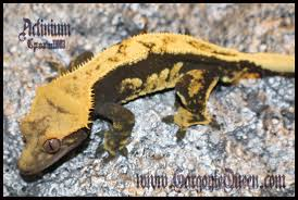 Baby Halloween Crested Gecko by Gqr U0027s Crested Gecko Collection Gargoyle Queen Reptiles