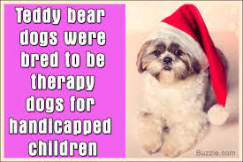 Do All Big Dogs Shed by Facts About The Teddy Bear Dog Breed That U0027ll Make You Go Aww