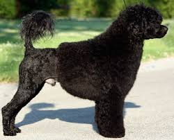 Portuguese Water Dog Non Shedding by Portuguese Water Dog Pwd Breed Information And Images K9rl