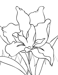 Iris Flower Coloring Pages