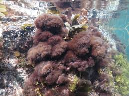 Decorator Crabs And Sea Sponges by Cystoseira Tamariscifolia An Bollenessor