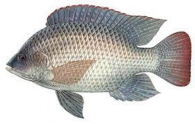 Blue Tilapia Oreochromis Aureus