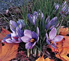 crocus sativus saffron crocus white flower farm