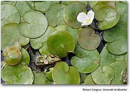 fleur et plante du lac memphrémagog conservation inc mci