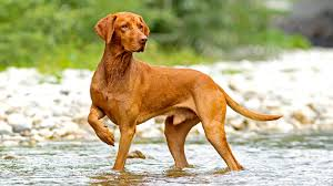 Do Vizsla Dogs Shed by Hungarian Vizsla Bondi Vet Tv Series Official Site