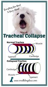 Quiet Small Non Shedding Dog Breeds by Tracheal Collapse In Small Breed Dogs