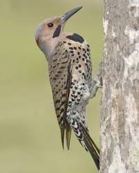 Northern Flicker (also Called Common Flicker). Have Seen These ... Wild Birds Unlimited Common Backyard Bird Nest Idenfication Sounds Articles Old Farmers Almanac Whibreasted Nuthatch Sitta Carolinensis Birds Certhioidea Best 25 Birds Ideas On Pinterest Pretty Blue A Brown Headed Cowbird At Thicksons Woods Debunk 12 Myths About Feeding Cute Rbreasted Nuthatch Winter Of Wisconsin Species Infographic Poster By Diana Sudyka The Worlds Photos And Sviceberry Flickr Hive Mind Grow These Native Plants So Your Can Feast Audubon What I Find In My Ontario Canada Youtube