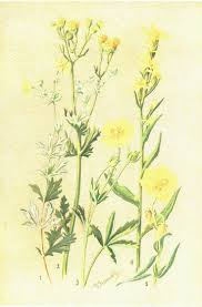 Antique Botanical Print Potentilla By George Flemwell Vintage Art Matted And Mounted SandycroftVintage On Etsy