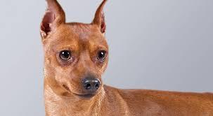 miniature pinscher min pin dog breed information american