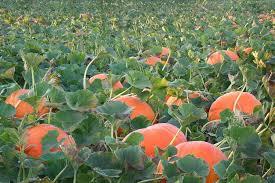 Hawes Farm Pumpkin Patch Anderson Ca by Nash Ranch Pumpkin Patch Old Oregon Trail Redding Ca Jobs