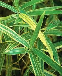 le bambou pleioblastus fortunei variegata est un bambou nain au