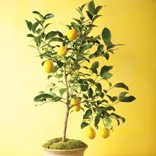 Kinds Of Christmas Trees In India by Grow Citrus Indoors Martha Stewart