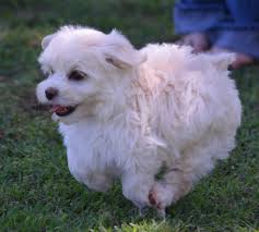 Non Shed Dog Breeds Hypoallergenic by Olaf Is A Playful Outgoing Havamalt Boy Raised In Our Home And