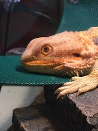 Bearded Dragon Shedding Process by Sudden Lethargy Sunken Eyes Pic Attached Rip U2022 Bearded Dragon Org