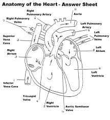 10 Gellery Of Human Heart Coloring Pages