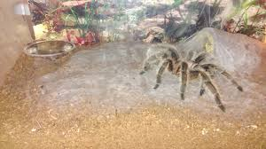 Do Tarantulas Molt Upside Down by Funny Or Cute Things Your Tarantula Does Page 2 Arachnoboards