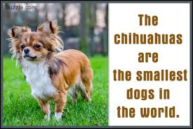 Best Hunting Dogs That Dont Shed by The Good And Not So Good Traits Of Chihuahua Terrier Mix Breeds