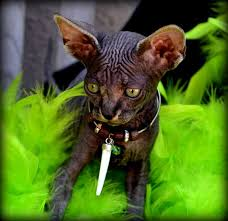 hairless cat price sphynx kittens for hairless cats pets4you