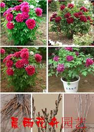 pivoine herbacee en pot fleur archives page 3 sur 38 atelier floral