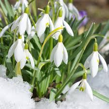 buy snowdrop bulbs galanthus woronowii delivery by waitrose