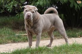 Dogs That Dont Shed Or Bark by Shar Pei Dog Breed Information Buying Advice Photos And Facts