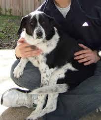 Do Blue Heeler Border Collies Shed by Border Beagle Border Collie X Beagle Mix Info Temperament