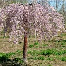 Pink Snow Showers TM Weeping Flowering Cherry Tree