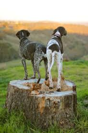 German Shorthaired Pointer Shedding by 62 Best Hunting Dogs Images On Pinterest Hunting Dogs Dogs And