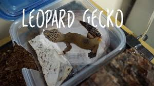 Crested Gecko Shed Box by Daily Leopard Gecko Care Youtube