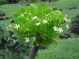 palmier de hawaï brighamia insignis entretien arrosage rempotage