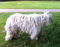dogs that dont shed huge dog breeds that don t shed download