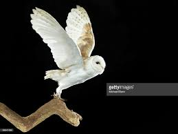 Barn Owl Flying Away Stock Photo | Getty Images Barn Owl Landing Spread Wings On Stock Photo 240014470 Shutterstock Barn Owl Landing On A Post Royalty Free Image Wikipedia A New Kind Of Pest Control The Green Guide Fence Photo Wp11543 Wp11541 Flight Sequence Getty Images Imageoftheday By Subject Photographs Owls Kaln European Eagle Coming Into Land Pinterest Pictures And Bird