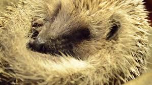 Porcupine Eats Pumpkin by Coypu Myocastor Coypus Aka River Rat Or Nutria Mammal Animal