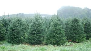 Fraser Fir Christmas Trees Delivered by For The Holidays U2013 Plants And Planters