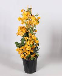 achetez maintenant une plante en pot bougainvillier jaune bakker