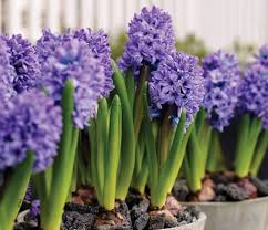 bulb flower plant