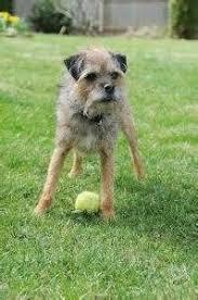100 best borders terrier dogs images on pinterest terrier dogs