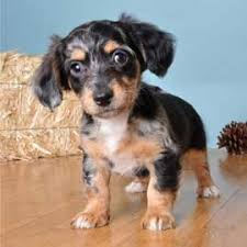 Do Long Haired Chiweenies Shed by 12 Best Chiweenie Images On Pinterest Chiweenie Dogs Doggies