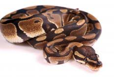 how often do ball pythons shed with picture
