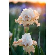iris bearded iris re blooming iris and iris rhizomes