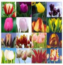 discount tulips seeds 2018 tulips seeds on sale at dhgate