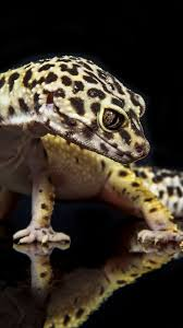Crested Gecko Shedding Info by Crested Gecko Wallpaper 1024 683 Leopard Gecko Wallpapers 49