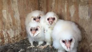 Barn Owl Chicks - YouTube Barn Owls On Oak Beam Uk Bird Small Mammal Taxidermist Mike Gadd Owl Family Clipart Night Owl Pencil And In Color Barn Baby By Disneyqueen1 Deviantart All Things Things You Always Wanted To Know About Keeping As Pets Portrait Of A During Falconry Traing Dubai Uae The Centre Staffvolunteers Gallery My Maltese Falcon A Day Falconry Speck The Globe 130109 130110 Wildlife Center Virginia Lydias Video Youtube