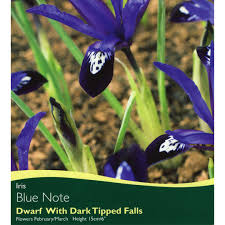 bulbs iris blue note bulbs for sale mail order