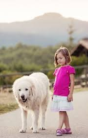 great pyrenees dog breed information pictures characteristics