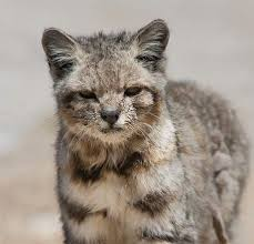 mountain cat 9 best andean mountain cat images on big cats andes